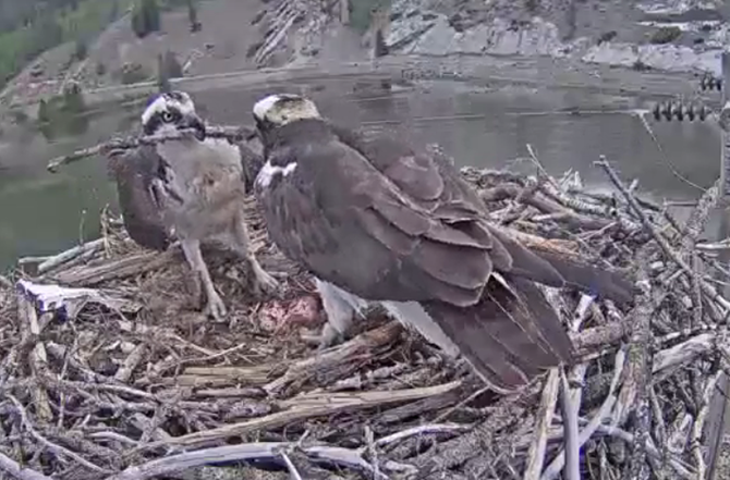 Osprey Exshaw two eggs