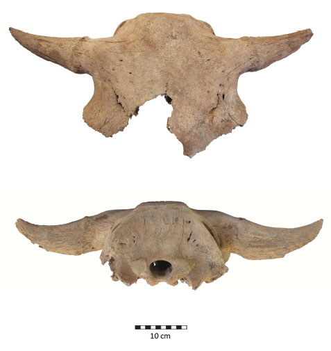 bison-bones-clean